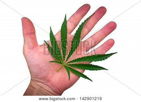 cannabis leaf on the palm isolated. marijuana leaf