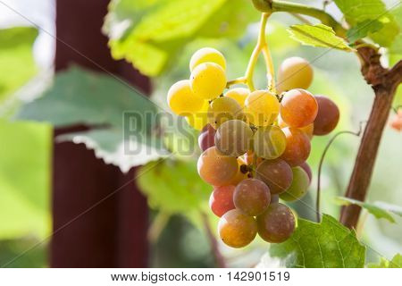 Bunch of ripening wine grapes ready for harvest at the end of summer
