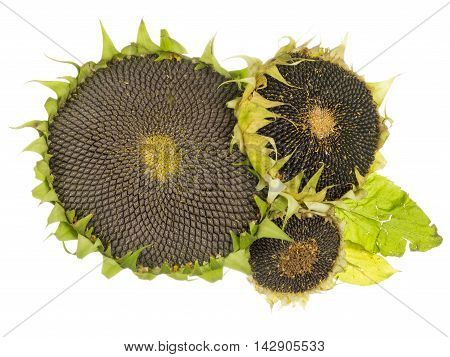 useful tasty ripe flowers with black sunflower seeds isolated on white background