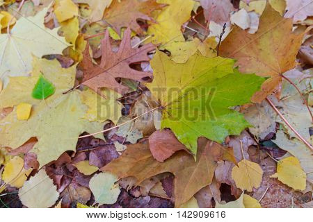 Fallen wet leaves on the ground. Autumn background