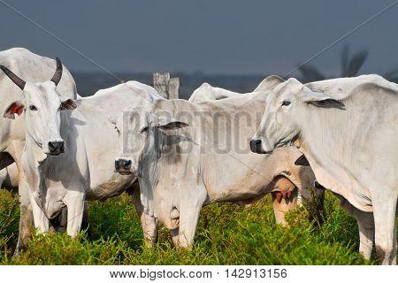 Cattle cow nelore in bolivia subtropical prairie