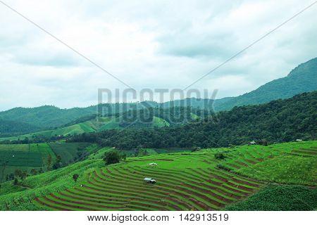 Green Terraced Rice Field at Pa Bong Piang village, Chiangmai, Thailand.
