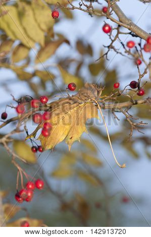 Yellow Maple Leaf and red hawthorn berries autumn close-up