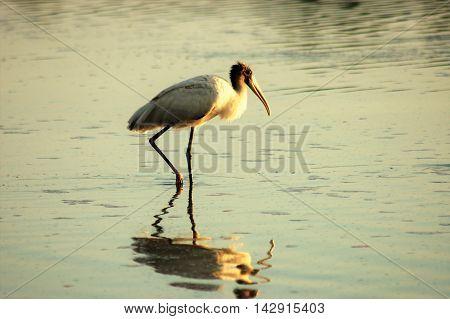 bird wading in the water reflection serene calm dusk