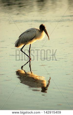 bird wading in the water, serene, calm, dusk
