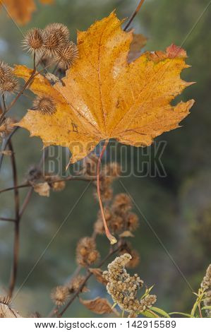 Yellow Maple Leaf and dry burdock burrs autumn close-up