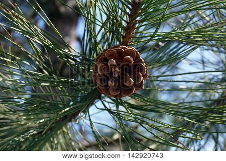 A pine cone and needles in a red pine tree (Pinus resinosa), also called the Norway pine, in Joliet, Illinois during the autumn.