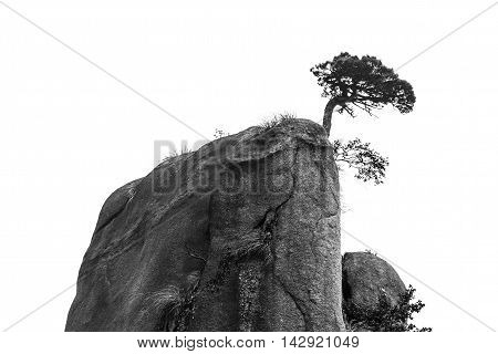 Single tree on mountain top of san qing China isolated on white