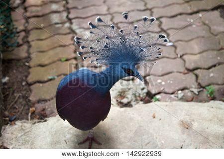 Beautiful royal pigeon in Sentosa island Singapore