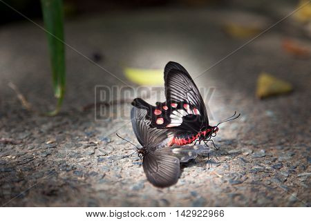 Butterfly mating display in Sentosa island Singapore