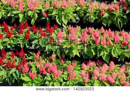 Rows of flats that display potted pink and red flowers at local flower nursery