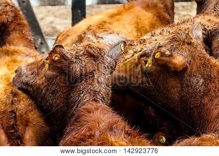 Brown Calves In A Farmyard In The Liniers Market, Argentina