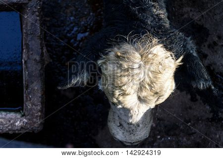 Head Of A Calf Next To A Drinking Fountain In The Market Of Liniers, Argentina