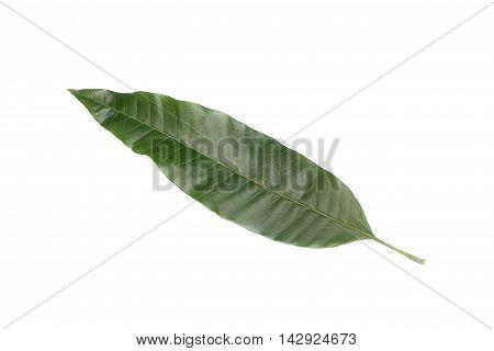 Mango leaf Green on a white background.