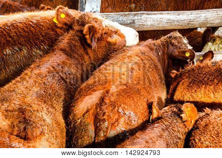 Set Of Hereford Calves In The Market Liniers, Argentina