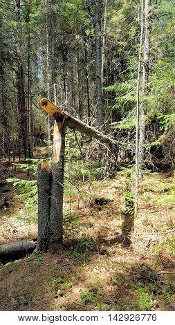 A Fallen Tree In Algonquin Park Ontario Canada
