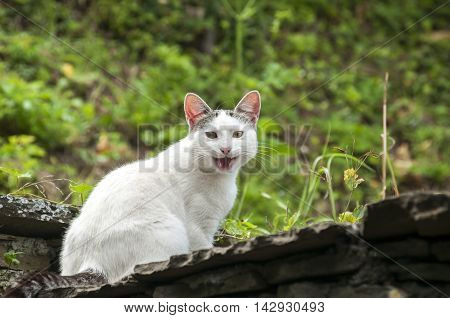White cat sitting on old house roof on nature background