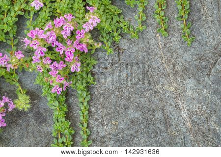 Creeping thyme with pink flowers over a blue gray stone, as a background