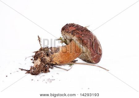 Xerocomus Badius Mushroom  lying on the table