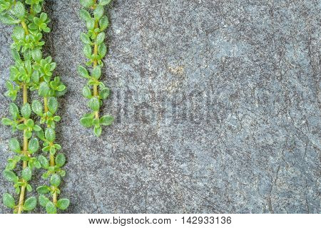 Creeping thyme over a blue gray stone, as a background