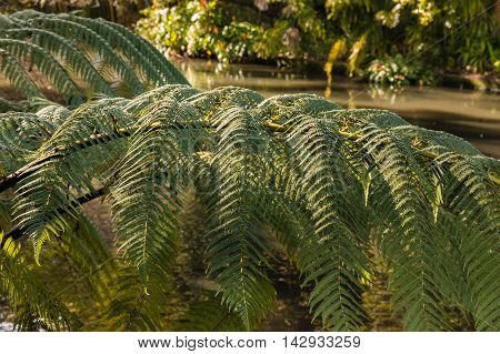 closeup of silver fern leaves with river in background