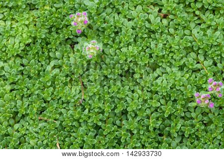 Creeping thyme as a nature background, green texture