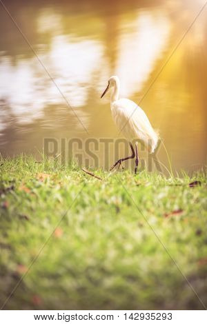 Animals in wildlife. Side view of white egret walking on the waterfront with bright sunlight long neck bird. Outdoors. Vintage tone effect.