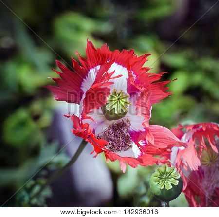 Close view of Danish flag Papaver Somniferum poppy
