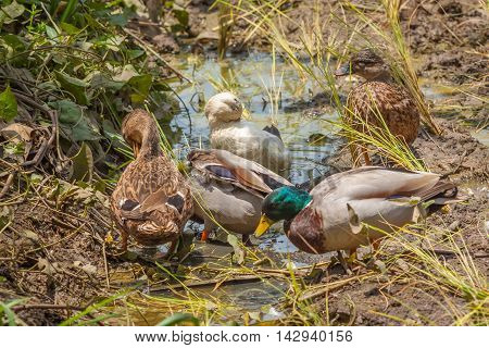 Group of Mallard Duck in the field