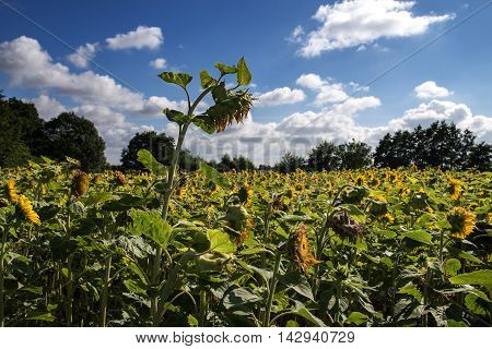 large ripe sunflower in a sunflower field against the blue sky with white clouds selected focus narrow depth of field