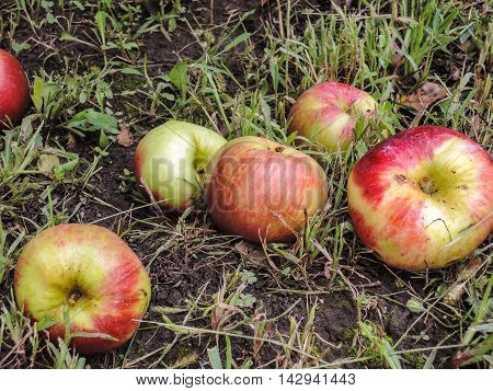 Fallen ripe apples from an apple tree on the ground in the grass
