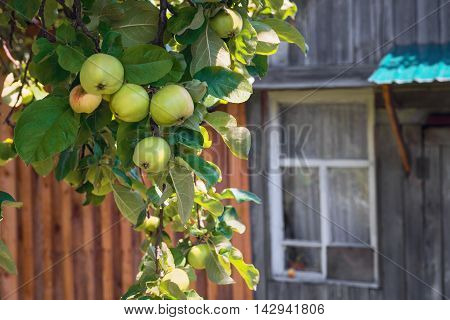 Apple tree branch with apples harvest rustic wooden house window on the windowsill red apple