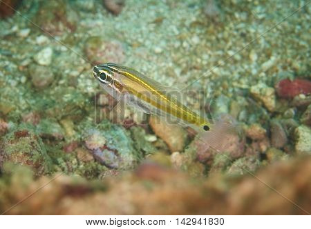 Shoal of Glassfish in reef coral under the sea