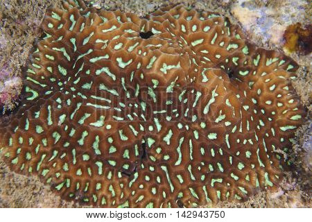 Large brain coralhard coral at Island in Thailand