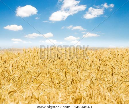 Wheat field on the bright summer day