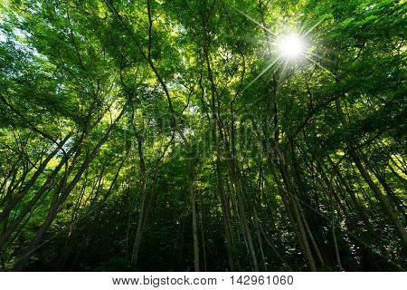 Green forest with sun rays in summer. Levico Terme Trentino Alto Adige Italy