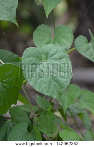 fresh green Cowslip creeper plants in nature garden