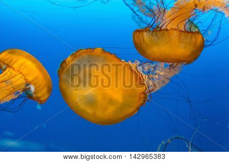 Many Exotic jellyfish in a saltwater aquarium