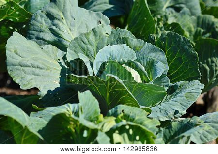 Young cabbage growing in the garden. Preparing for the harvest season. Gardening work growing vegetables at home.
