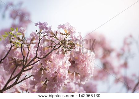 Pink Tabebuia blossoms bloom in late winter in Thailand