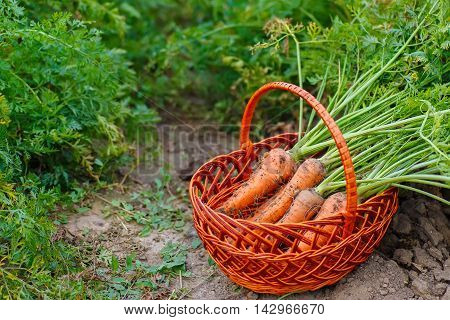 bunch of carrots in a basket placed on the earth of a vegetable garden. Carrots in a wicker basket in the garden. Fresh harvested carrots. Harvest
