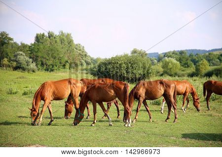 Grassland with purebred grazing horses in summer pasture. The herd of chestnut horses grazing on green meadow