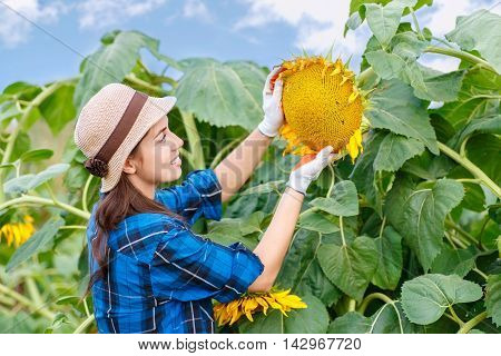 Woman farmer in sunflowers field looking at sunflower seeds. Farmer examining crop of sunflowers in field. Female farmer in sunflower field