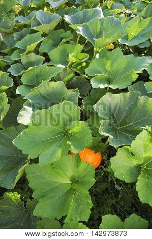 Pumpkin In Garden.