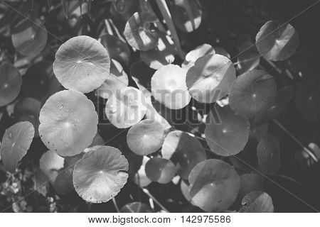 Black And White Photo,group Of Lotus Leaf At Garden