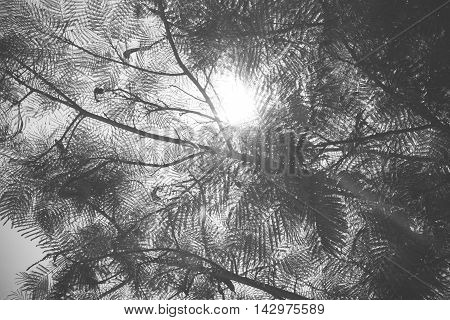 Black And White Photo,looking Up At Sunbeam Behind Tree