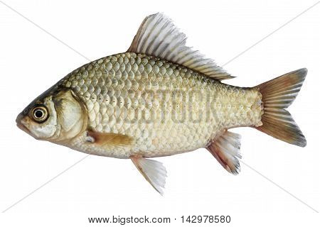 Isolated crucian carp a kind of fish from the side. Live fish with flowing fins. River fish
