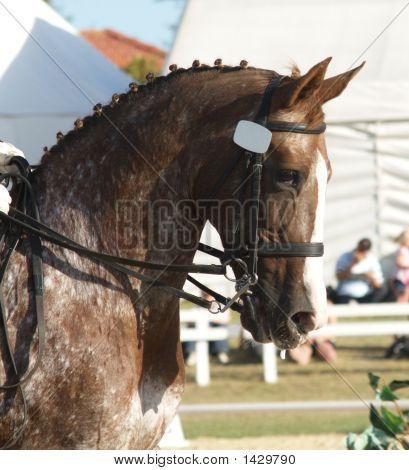 Appolossa Dressage Horse