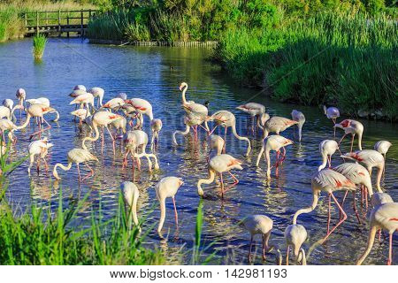Large flock of pink flamingos. Picturesque exotic birds sleep at sunset. Evening light in the National Park of the Camargue, Provence, France