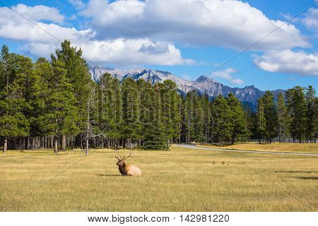 The deer has a rest. The red deer with branchy horns lies in a grass on fringe of the forest. Rocky Mountains in Canada